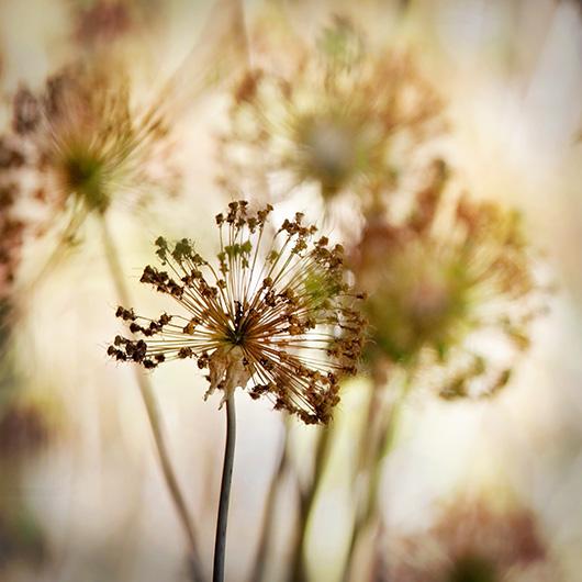 Drying Allium Seed Heads