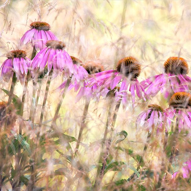 5412 - Echinacea