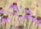 5423 Echinacea purpurea leuchstern