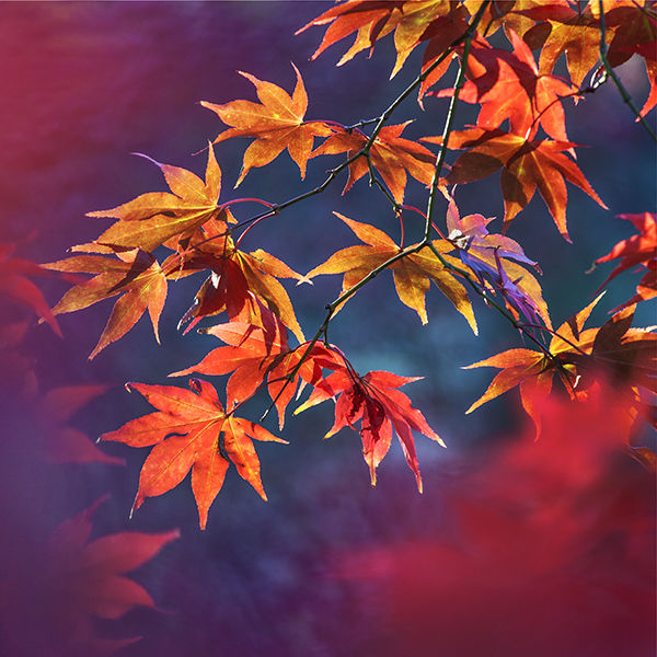 Autumnal acer foliage - not available for greeting cards