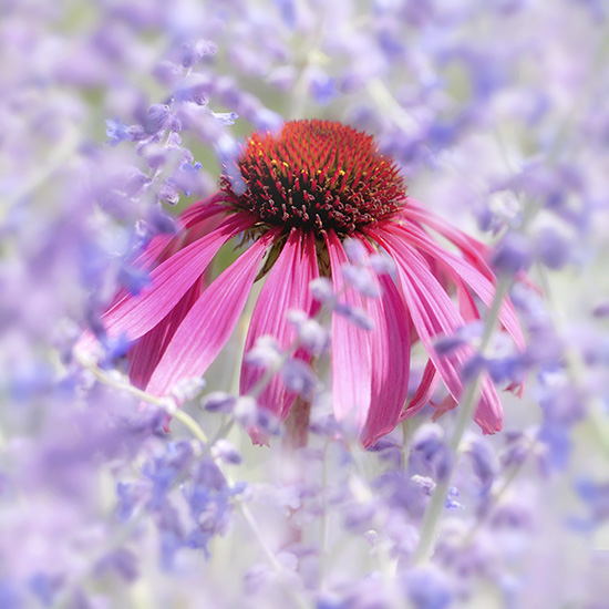 Echinacea (not available for greeting cards)