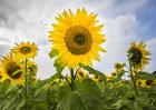 5779 Sunflowers