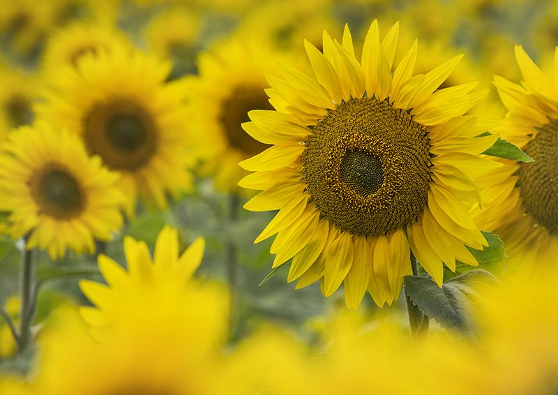 5809 Sunflowers