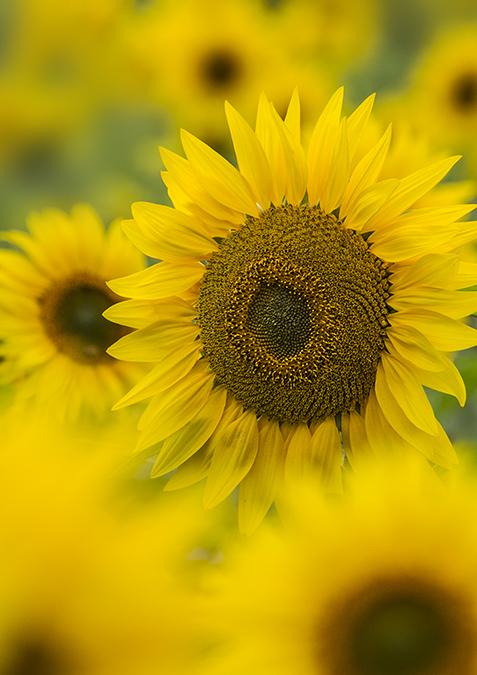 5813 Sunflowers