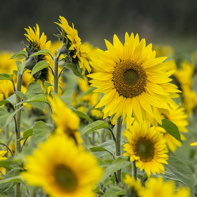5818 Sunflowers