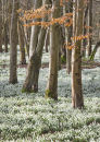6038 The Snowdrop Woodlands, Welford Park, Berkshire