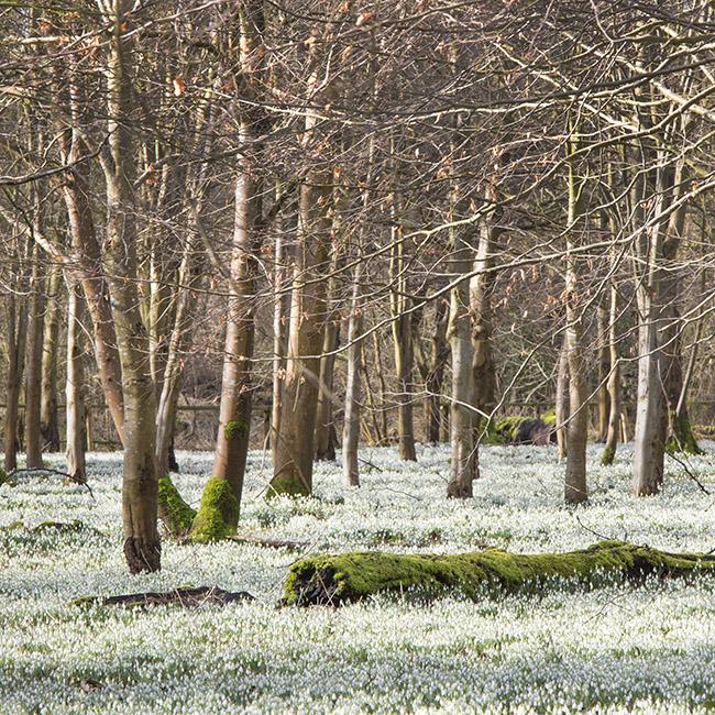 6043 The Snowdrop Woods, Welford Park, Berkshire