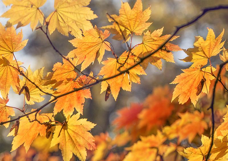 6160 Autumnal / Fall foliage