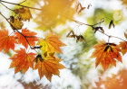 6174 Autumnal / Fall foliage
