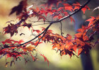 6176 Autumnal / Fall foliage