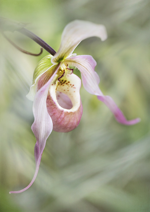 6228 Phragmipedium orchid