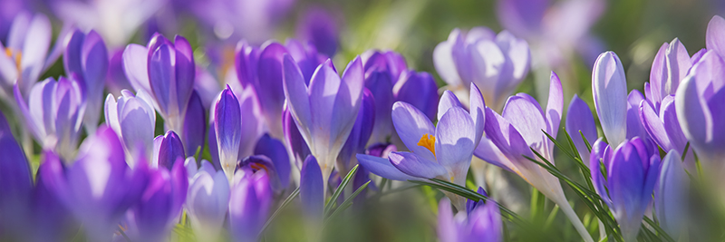 6292 Crocus panorama