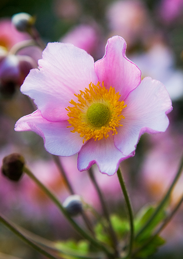 Anemone tomentosa 'Robustissima' (not available for greeting cards)