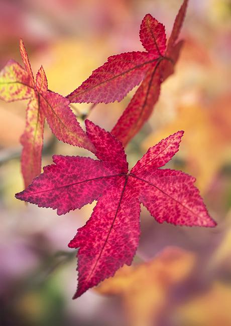 6435 Autumnal / Fall foliage - Liquidambar