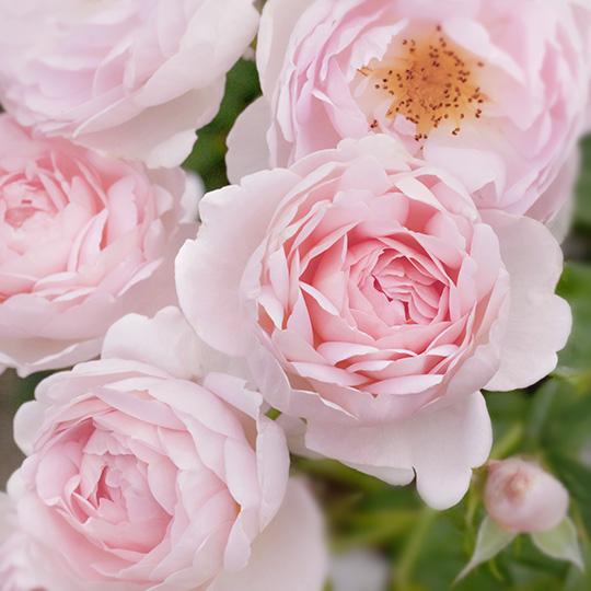 "Rose ""Sceptre'd Isle"""