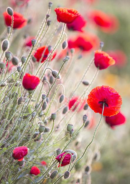 7327 poppies