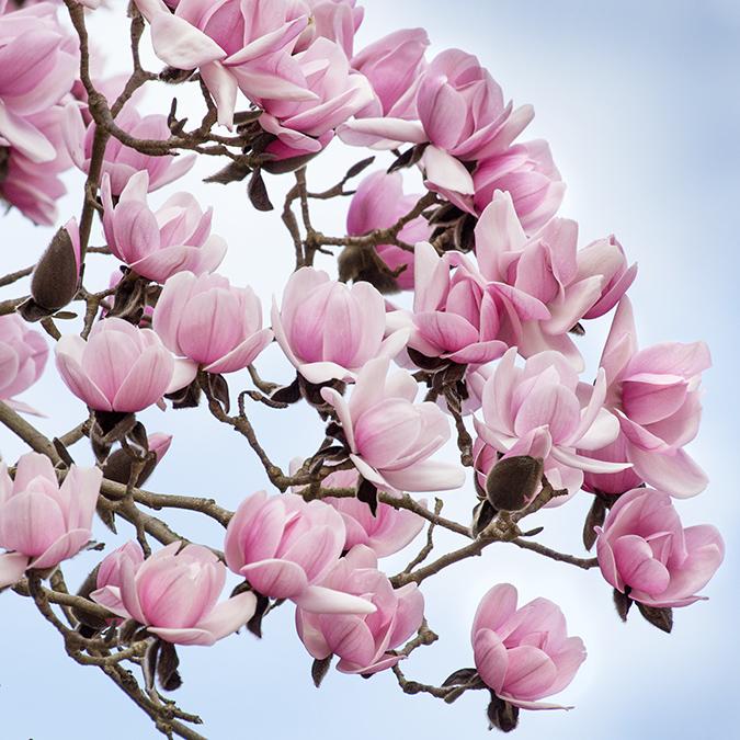7411 Magnolia Blossom
