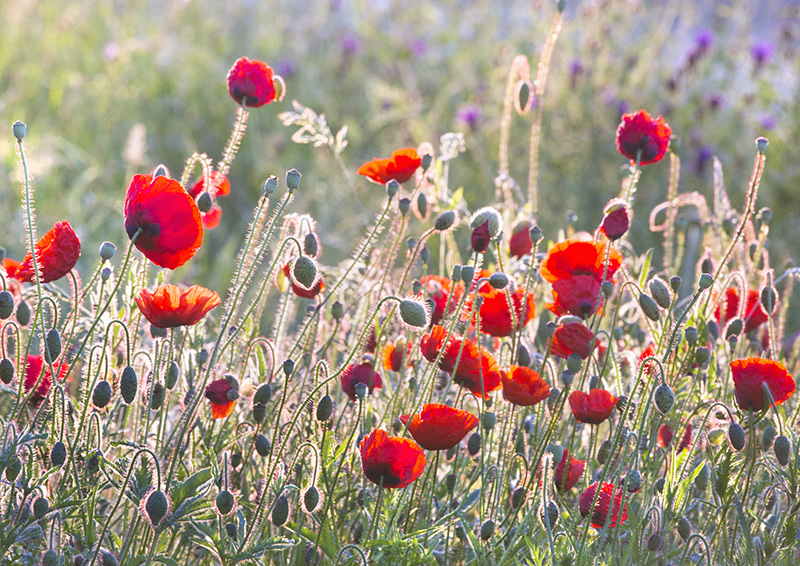 7328 Poppy Meadow