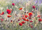 7328 Poppy Meadow