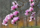 "7510 Magnolia campbellii ""Charles Raffill"""