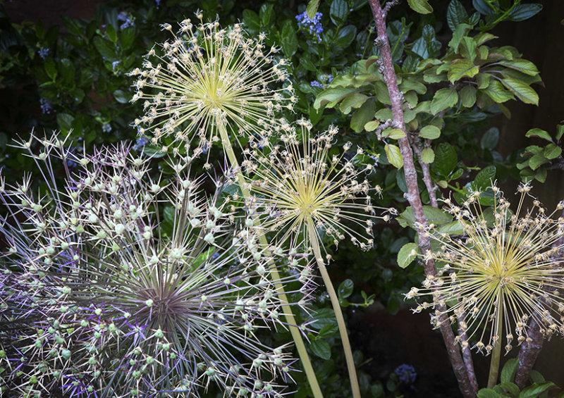7526 Allium seed heads