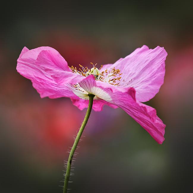 7549 Pink Poppy