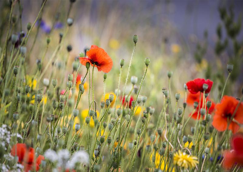 7709 Wild Flower Meadow