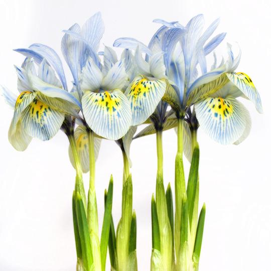 "Iris ""Katharine Hodgkin"""