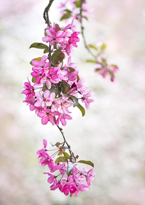 8028 Crab Apple blossom (Malus liset)