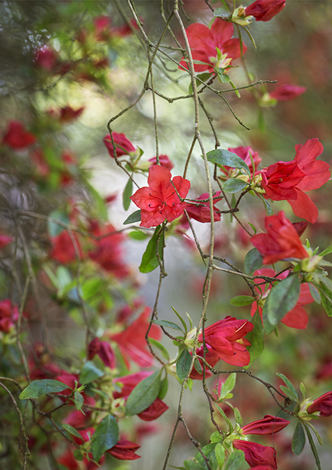 8171 Rhododendron rashomon