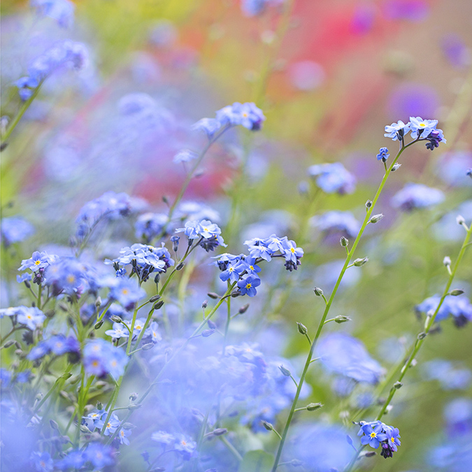 8222 Forget-me-nots