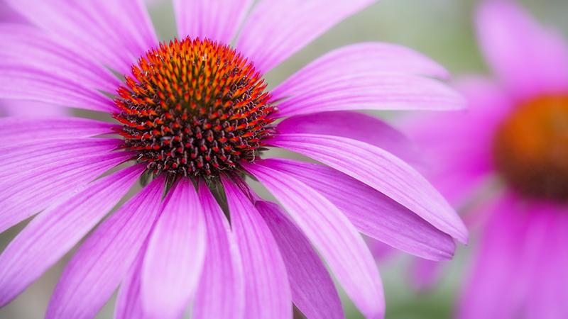 8249 Echinacea purpurea