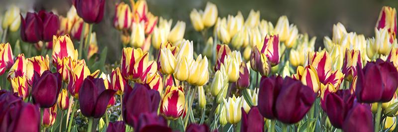8905 Tulip panorama