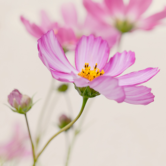 Cosmos (not available for greeting cards)