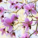 Magnolia Campbellii Charles Raffill