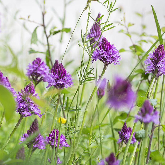 9135 Pyramidal orchids