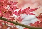 9146 Acer palmatum chishio