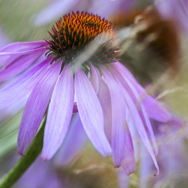 9446 Echinacea purpurea leuchstern