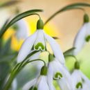 Snowdrops - not available for greeting cards