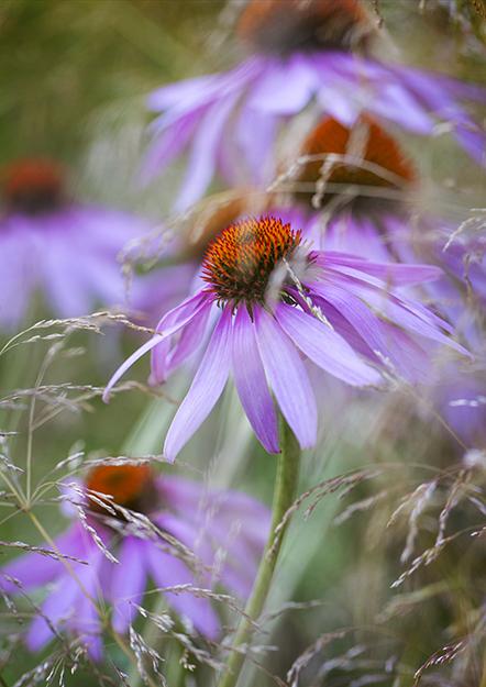 9516 Echinacea purpurea Leuchstern