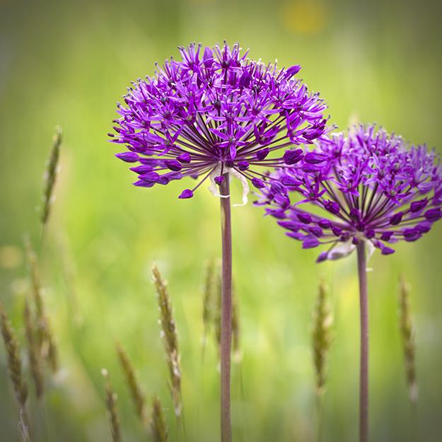 9601 Alliums