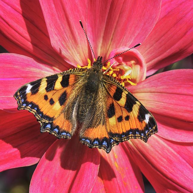 9609 Tortoiseshell butterfly