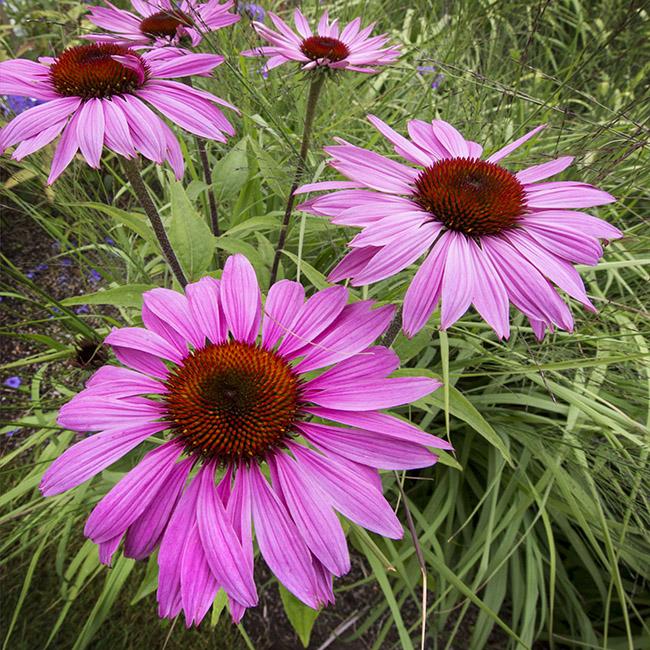 9713 Echinacea purpurea