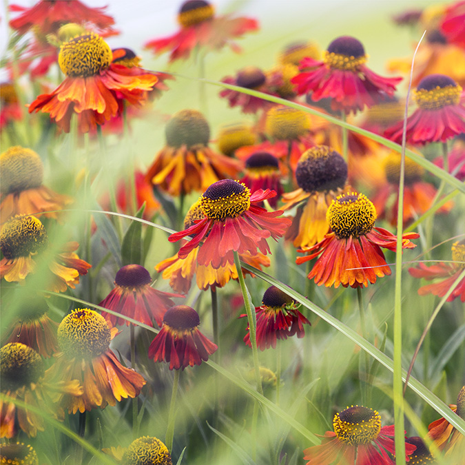 9787 Helenium  moerheim beauty