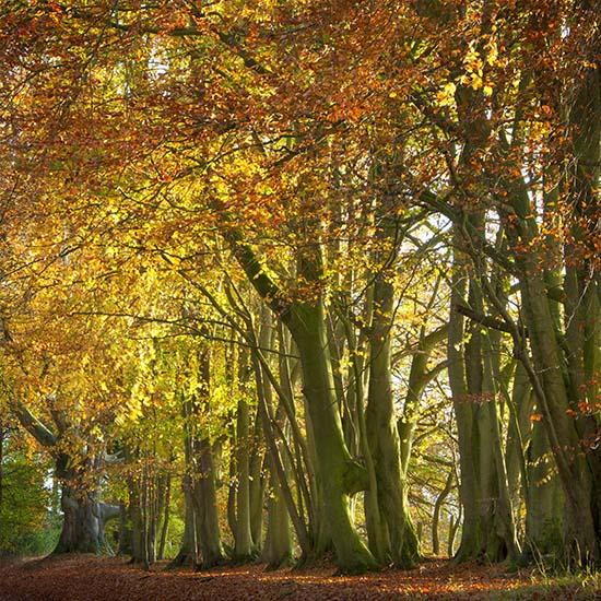 Autumn Beech Wood 2