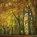 Autumn Beech Wood 2