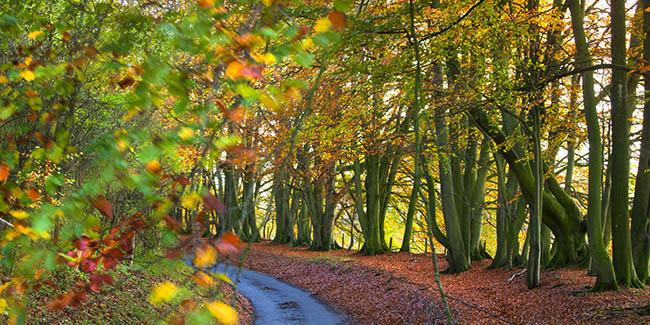 Autumn Beech Woods 3