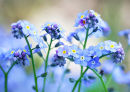 Forget-me-nots (exclusive to Getty Images)