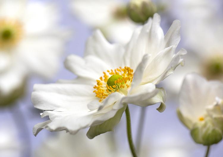 9927 Japanese anemone