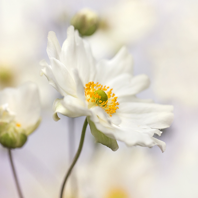 9950 Japanese anemone